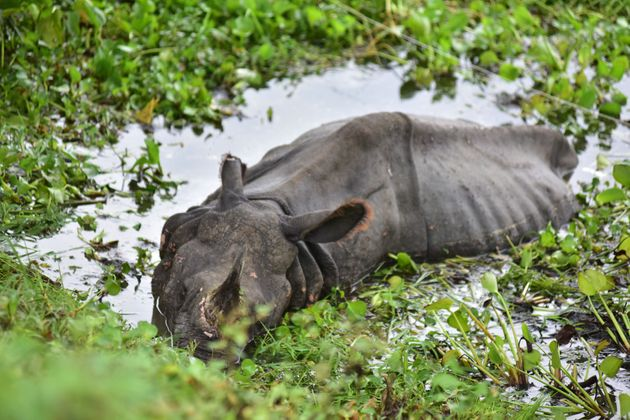 A rhino rests near NH 37 after straying out from flood-affected Kaziranga National Park, in Nagaon district...
