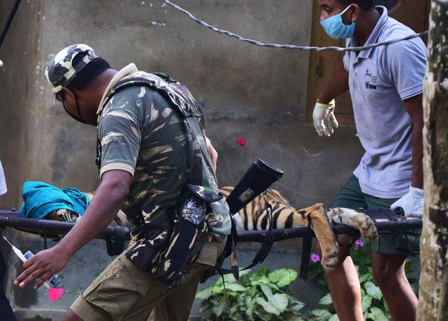 In this photograph taken on July 15, 2020, forest officials carry a tranquillized tiger on a stretcher...