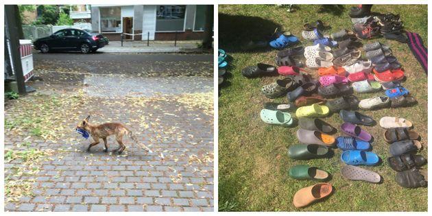 Αλεπού έτοιμη για παραλία: Διατηρούσε την μεγαλύτερη συλλογή από σαγιονάρες στην καρδιά του