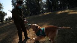 Chilean Dogs Sniff Out Coronavirus In Early