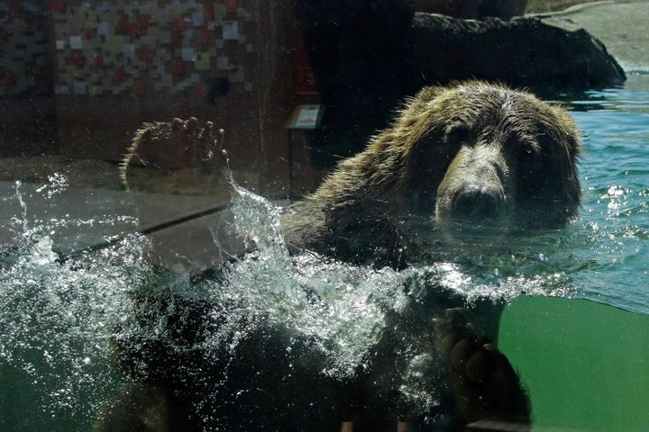 A bear swims in his habitat at the Oakland Zoo on July 2, 2020, in Oakland, Calif.