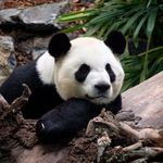 Calgary Zoo Pandas Stuck In Limbo As Bamboo Supplies