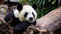 Calgary Zoo Pandas Stuck In Limbo As Bamboo Supplies