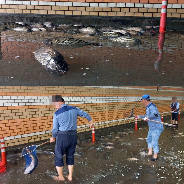 7일 오후 서울 영등포구 여의도 한강공원 내 지하차도에 불어난 한강 물에 떠밀려왔던 물고기들이 다시 한강에 돌아가지 못하고
