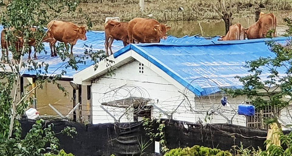 9일 오전 섬진강 범람으로 침수된 전남 구례군 구례읍 양정마을의 한 축사 위 지붕으로 소들이 올라가