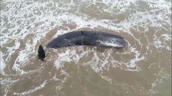 Il capodoglio si spiaggia sulla costa in Argentina: i soccorritori non riescono a salvarlo
