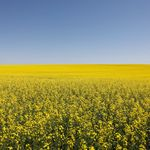 Canada's Canola Prices Are Soaring Despite Spat With