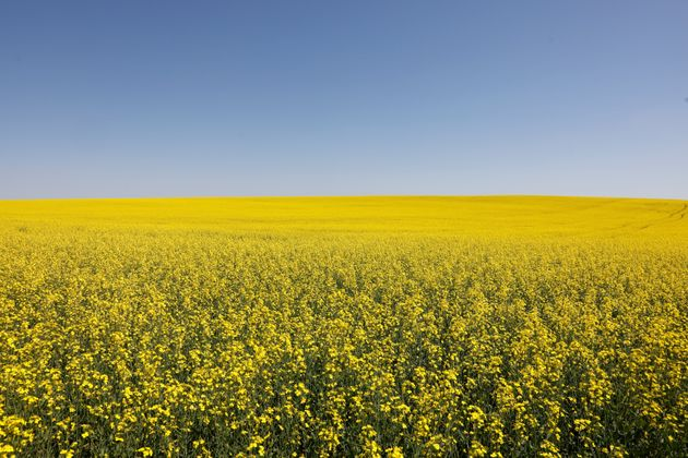 Canadian canola fields are seen in full bloom in Alberta on July 23,