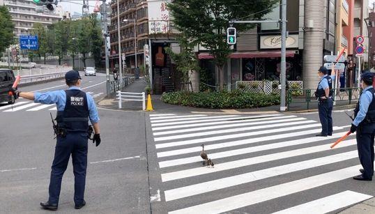 カルガモ親子、六本木でVIP対応を受ける。道路横断で警察出動