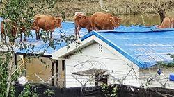 침수 피해 지붕 올라간 소들의 구출