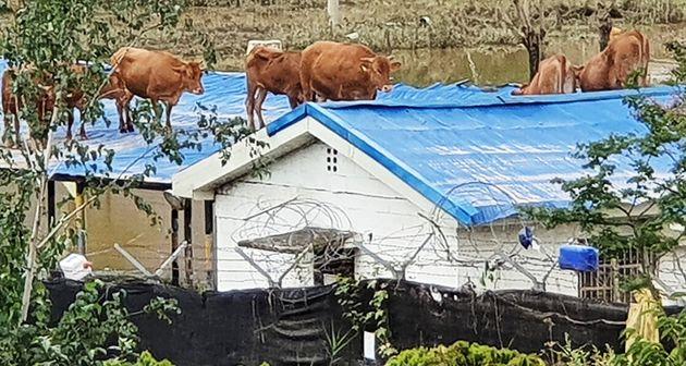 9일 오후 전남 구례군 구례읍 양정마을 축사 인근 주택 지붕에 소들이 올라가