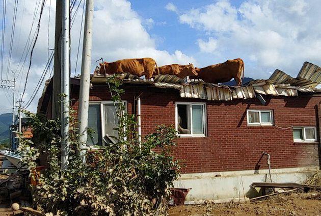 9일 오후 전남 구례군 구례읍 양정마을 축사 인근 주택 지붕에 소들이 올라가 있다. 양정마을은 전날 섬진강이 범람하면서 큰 피해를 입어 마을 곳곳이 폐허가