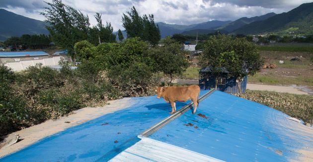 9일 전남 구례군 구례읍의 한 마을 축사 지붕에 소가 올라가