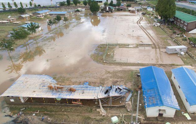 9일 전남 구례군 구례읍의 한 마을 축사 지붕에 소떼가 올라가