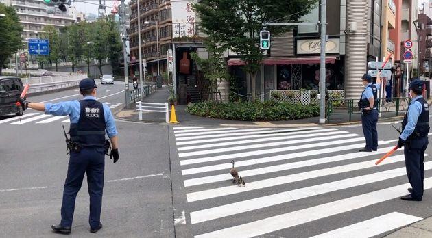 1本目の横断歩道を青信号で渡るカルガモ親子=