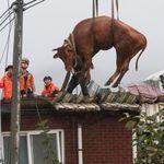 소방관들이 지붕에서 500kg 넘는 소들 구출한 현장