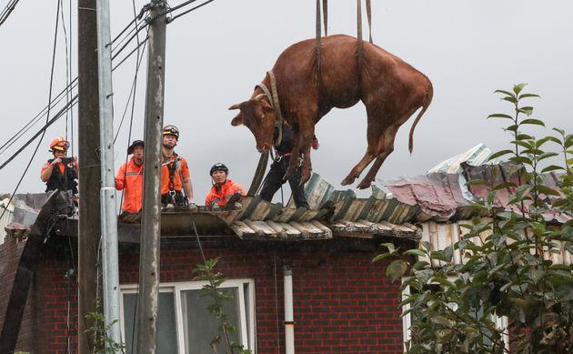 10일 전남 구례군 구례읍의 한 마을에서 소방대원들이 축사 지붕에 올라갔던 소를 크레인을 이용해 구조하고