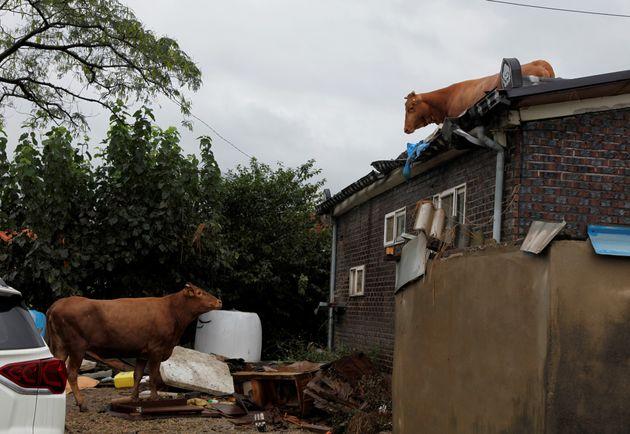10일 전남 구례군 구례읍 양정마을의 한 농가 지붕에 소들이 올라가 있고, 한 마리는 아래에서 지붕 위를 바라보고 있다. 지붕 위를 바라보는 소는 지붕 위에서 스스로 떨어져 내려온듯