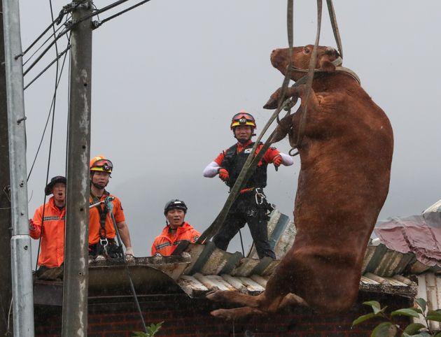 10일 전남 구례군 구례읍의 한 마을에서 소방대원들이 축사 지붕에 올라갔던 소를 구조하던 중 소가 떨어지고 있다. 뒤로 대원들의 다급한 표정도