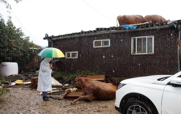10일 전남 구례군 구례읍 양정마을에서 정기영(69) 정가축병원장이 넘어져 있는 소를 걱정스럽게 쳐다보고 있다. 정 원장은 수해를 당한 축산농가들을 위해 무료로 소를 진료하고 약을...
