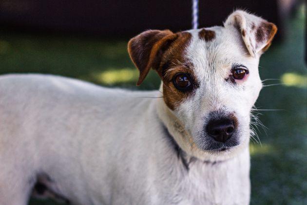 A Annecy, un Jack Russell Terrier laissé dans un coffre de voiture est mort asphyxié ce...