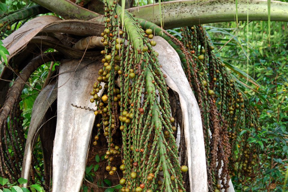The moriche palm growing in the Amazon river basin in Brazil. Buriti oil from the fruit of the palmsells...