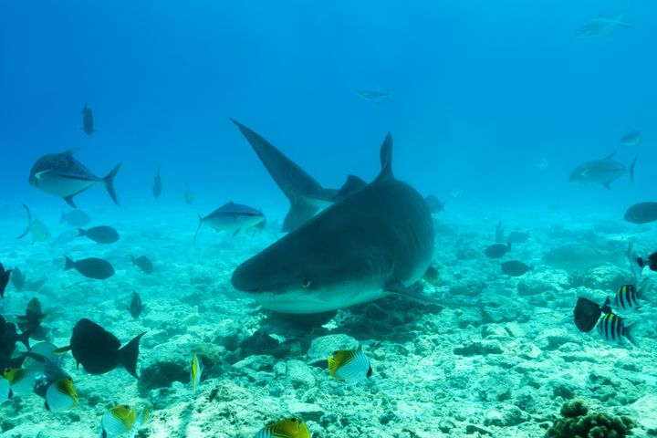 """Scientists just declared sharks """"functionally extinct"""" from 1 in 5 coral reefs."""