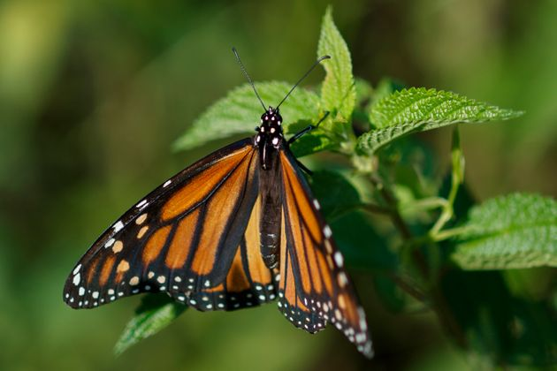 Monarch butterflies face a number of threats to survival, from habitat destruction to climate