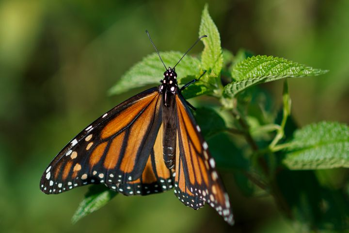 Monarch butterflies face a number of threats to survival, from habitat destruction to climate change.