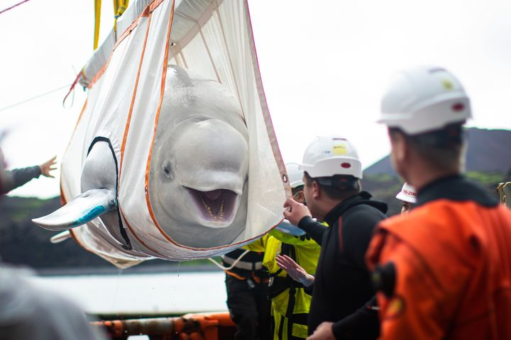 "Little Grey being moved in a sling from a tugboat during transfer to the ""care pool"" where she and Little White will acclimat"