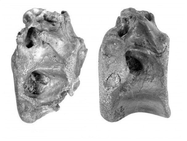 Deux os du squelette de la nouvelle espèce de dinosaures, appelée Vectaerovenator