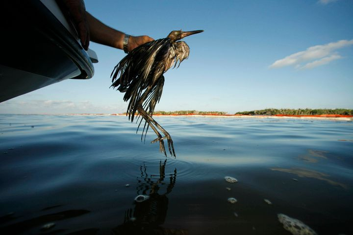 A heavily oiled bird from the waters of Barataria Bay, Louisiana, in June 2010. The Trump administration in 2017 ended crimin