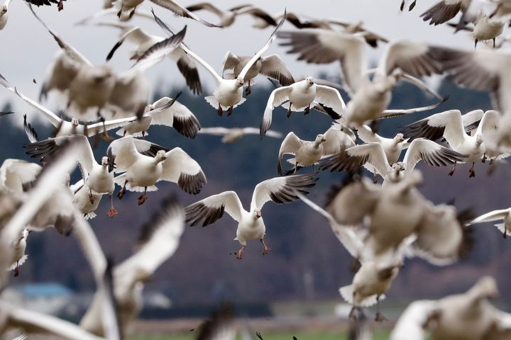 Snow geese land in a farm field at their winter grounds  in the Skagit Valley near Conway, Wash. More than 50,000 of the