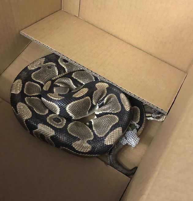 This 1.4-metre-long ball python was on the run in Victoria, B.C. for six
