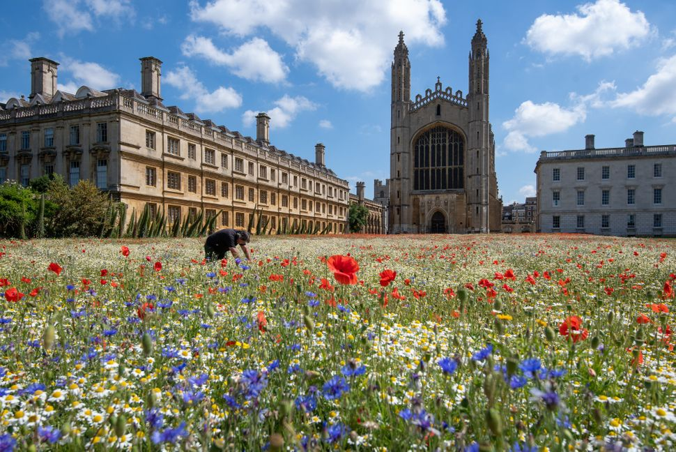 Gardeners rake the freshly mown meadow at King's College Cambridge, which features harebells, buttercups, poppies and cornflowers.