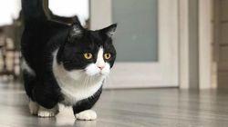 Si chiama Manchester e ha le zampette lunghe solo 10 centimetri: è lui il gatto star di Instagram
