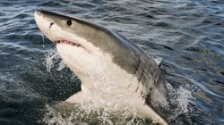 Surfer Punches Shark Repeatedly To Save His Wife In Attack Off Australian