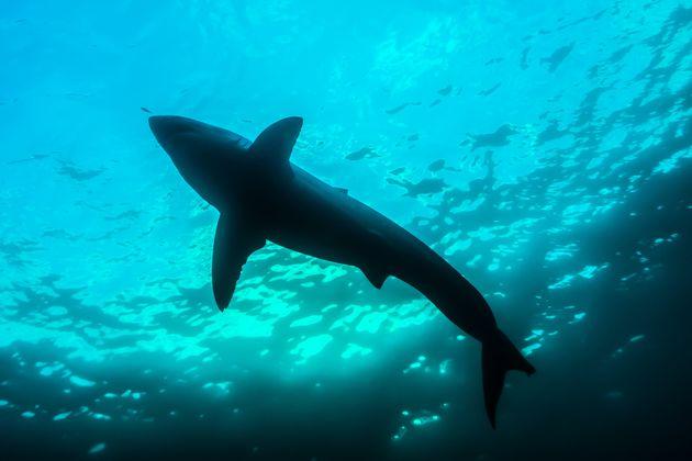 2014年にオーストラリア南部の海で撮影されたホホジロザメ
