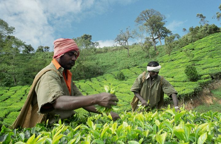 A file photo of workers plucking leaves in a tea estate in Munnar, Kerala.
