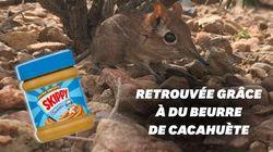 Disparue depuis 50 ans, la musaraigne-éléphant retrouvée... grâce à du beurre de
