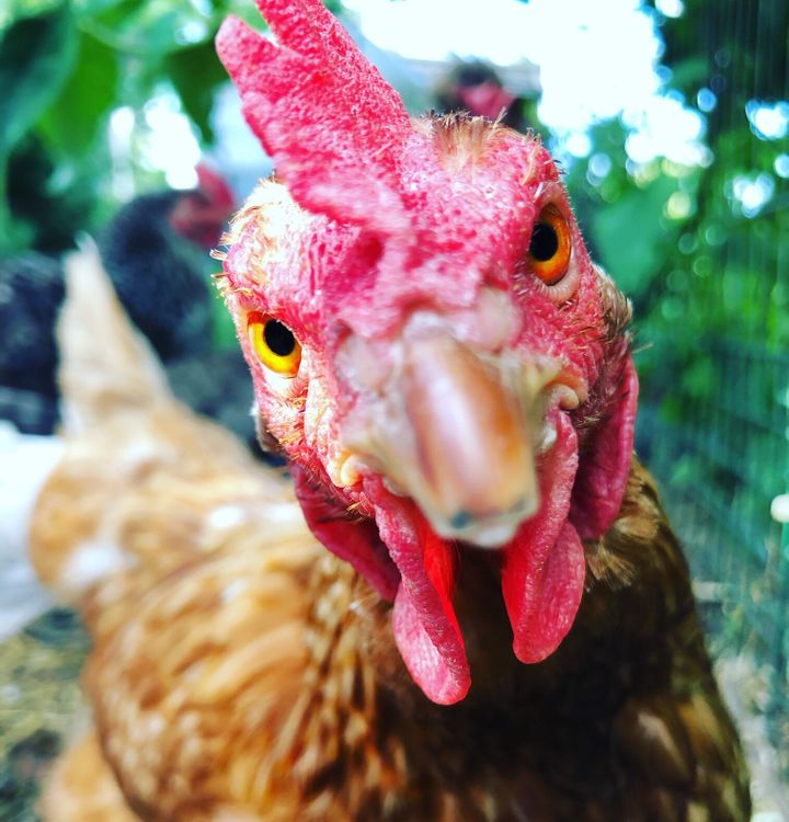 Requests for pet chickens surged under lockdown