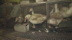 Tous les sites de l'exploitant de canards à foie gras fermés après l'enquête de