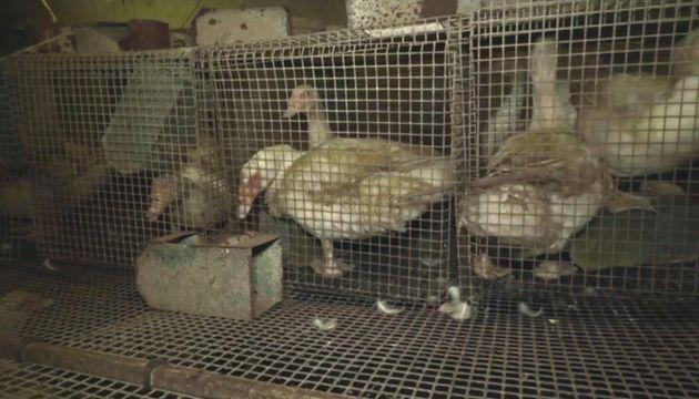Tous les sites de l'exploitant de canards à foie gras fermés après l'enquête...