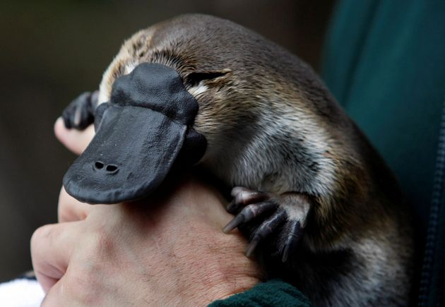 An adult male platypus named Millsom is carried by his keeper at an animal sanctuary in
