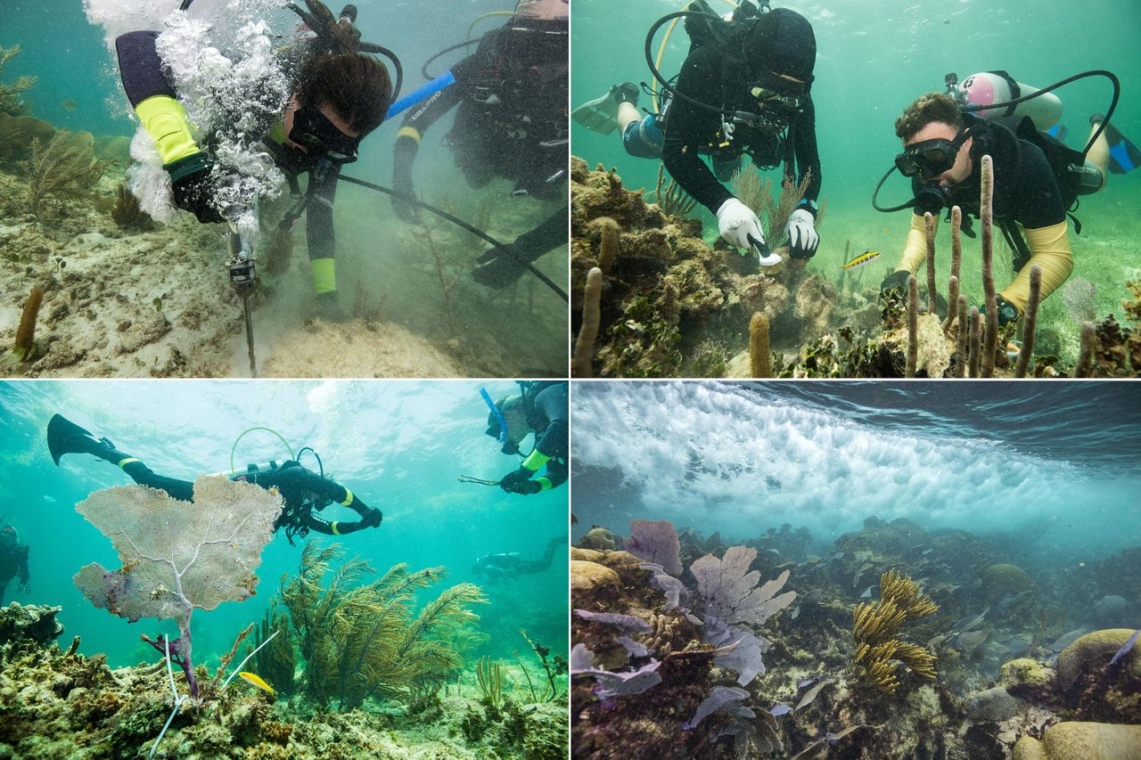 Guardians-in-training learn to repair the reef, drilling holes to insert supports for reattaching broken pieces and scrubbing transplant sites with a brush. Plastic zip ties hold broken bits in place.
