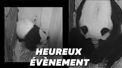 Les images de la naissance d'un bébé panda au zoo de
