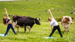 Hinduism Cow Row Erupts In UK Over 'Yoga With Cattle'
