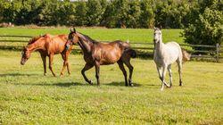 Un nouveau cheval mutilé retrouvé dans les