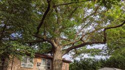 Mobilisation pour sauver un chêne plus vieux que le
