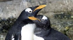 Female Penguins Become New Mums After Adopting Egg